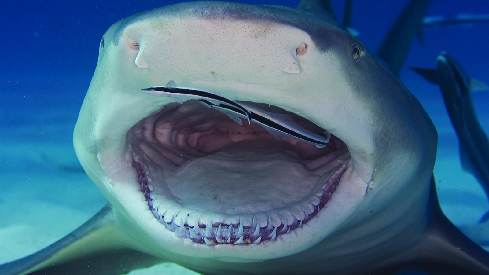 The Lemon Shark Is a (Relatively) Friendly Shark