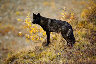 What is a lone wolf? | HowStuffWorks