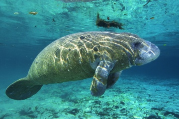 Are manatees really responsible for mermaid myths?   HowStuffWorks