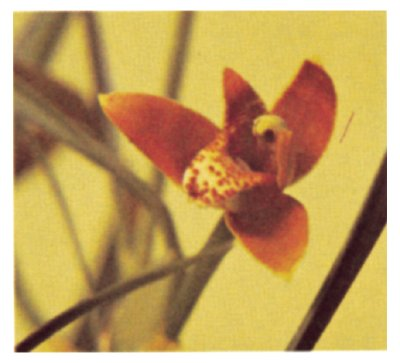 Maxillaria houtteana Orchid