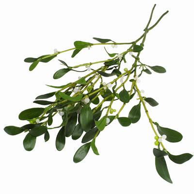 How Mistletoe Works Howstuffworks