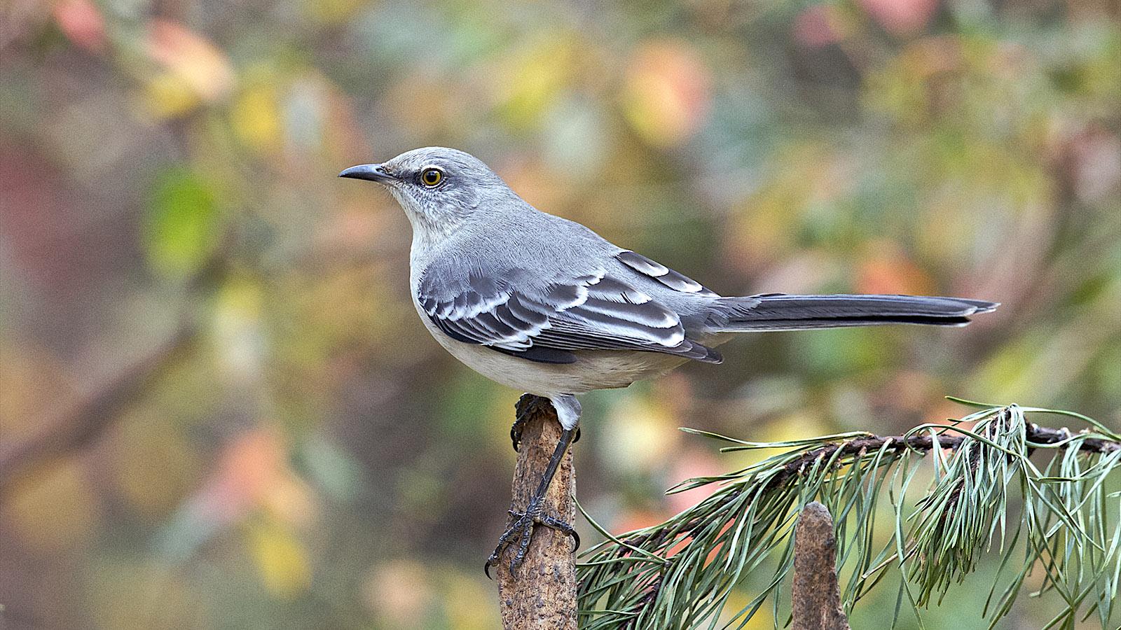 Why Mockingbirds Mock | HowStuffWorks