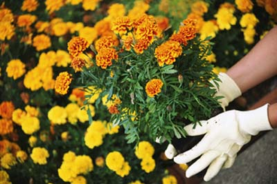 Drought-tolerant marigolds don't require much irrigation, saving you maintenance time.