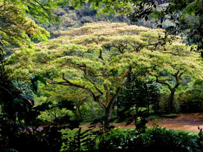 How Monkeypod Trees Work | HowStuffWorks