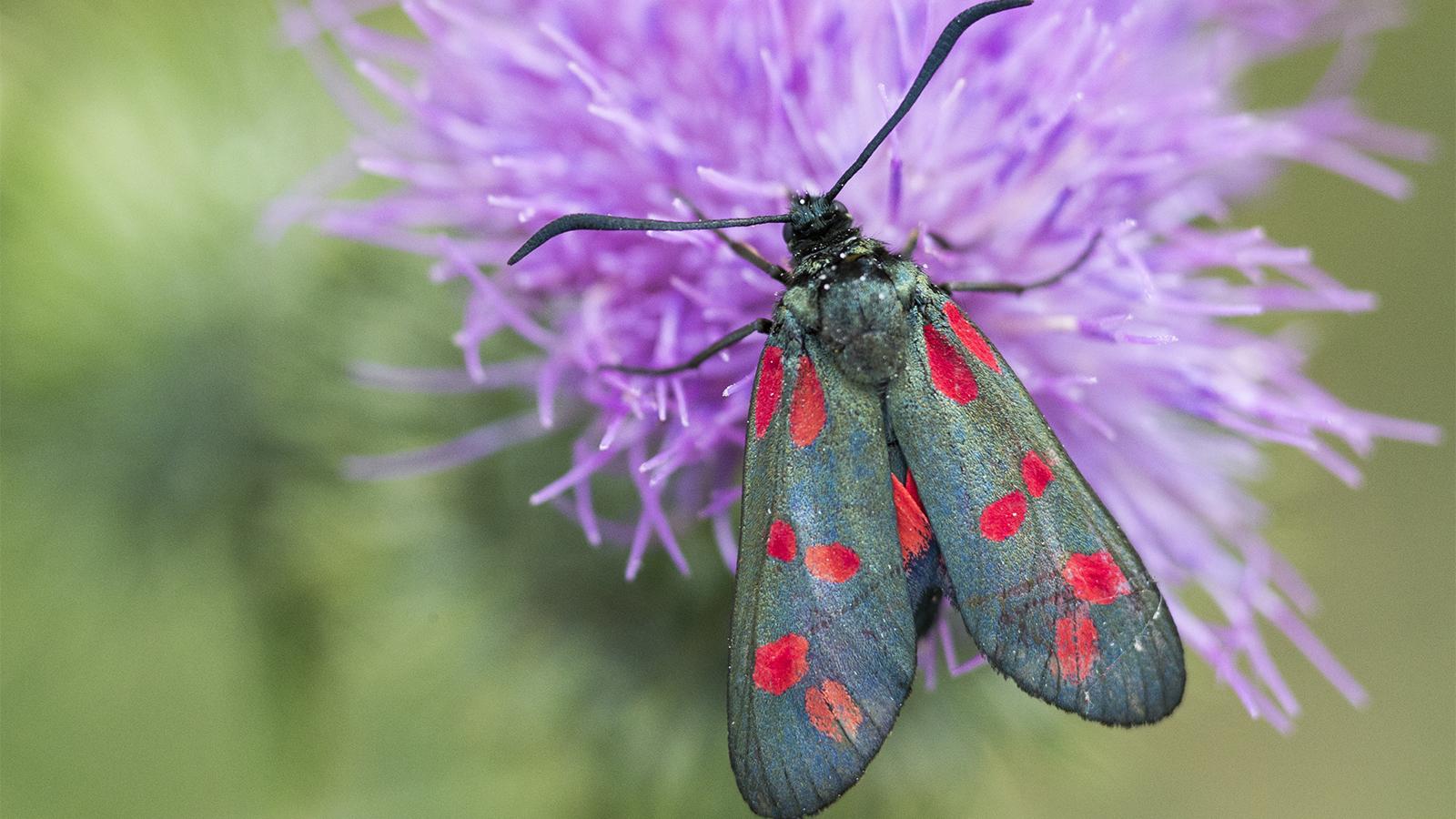 Moths Are Mother Nature's Secret Pollinators