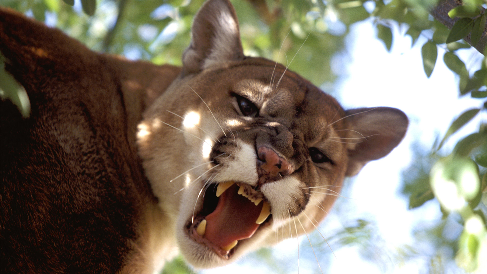 6 Wild Cats Still Found Roaming The U S Howstuffworks