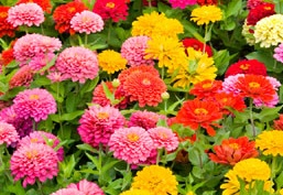 Multicolor Annual Flowers Howstuffworks