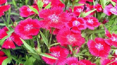 Image of carnations as an illustration of multicolor perennial flowers.