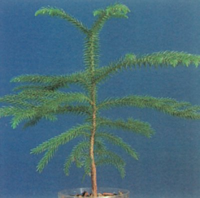 Norfolk Island Pine Profile Of A House Plant Howstuffworks