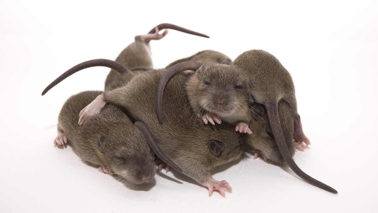 Huddling Baby Rats Join Powers Act As Superorganism To Get Cozy Howstuffworks