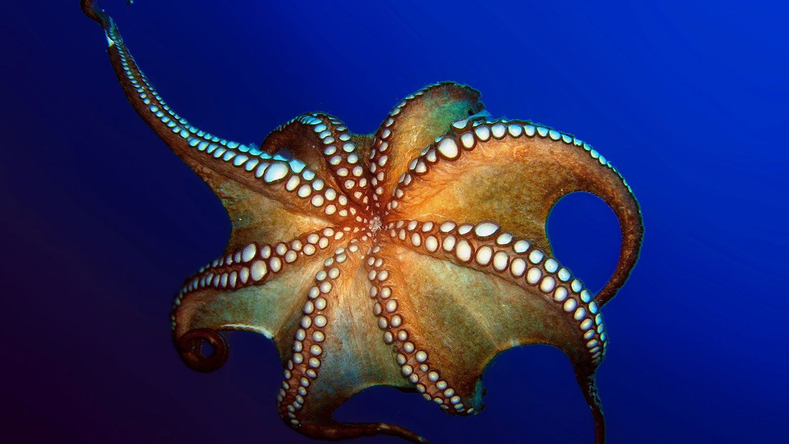 How Octopuses Work | HowStuffWorks