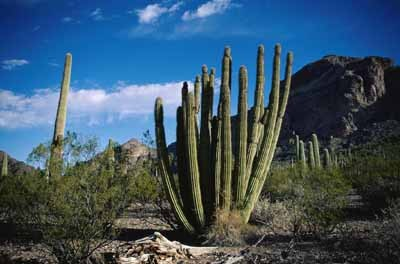 Organ Pipe Cactus National Monument.