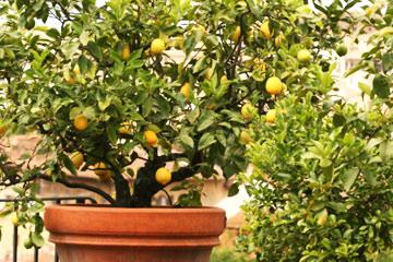 Planting Dwarf Fruit Trees In Pots Howstuffworks