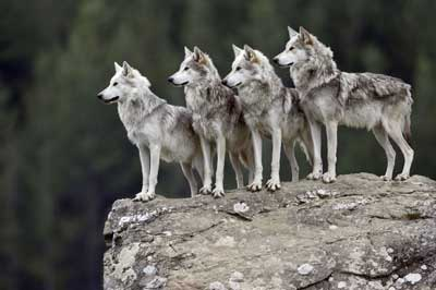 What Is A Wolf Pack Mentality Howstuffworks