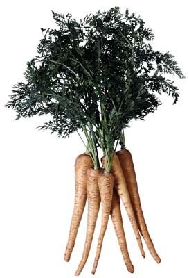 Parsnips thrive in a short growing season. Frost helps parsnip flavor develop.