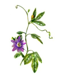 Passionflower has been used for anxiety, epilepsy, and high blood pressure, as well as to treat other conditions.