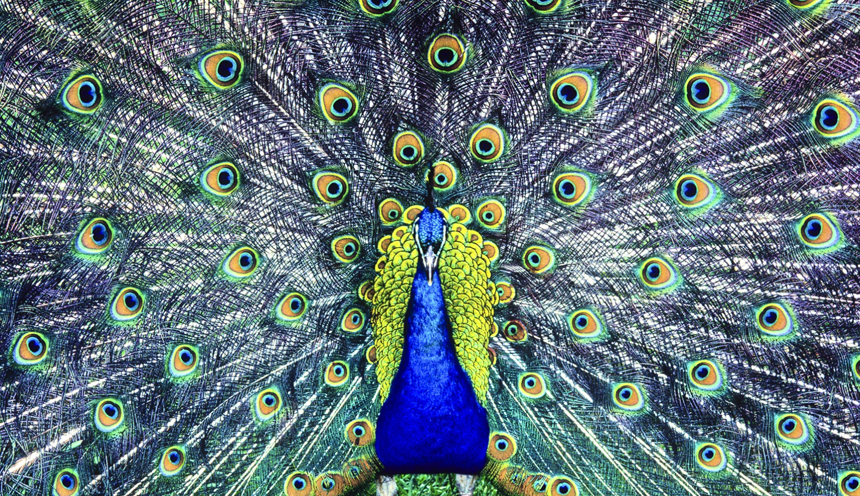 If a peacock loses his tail feathers, do they grow back