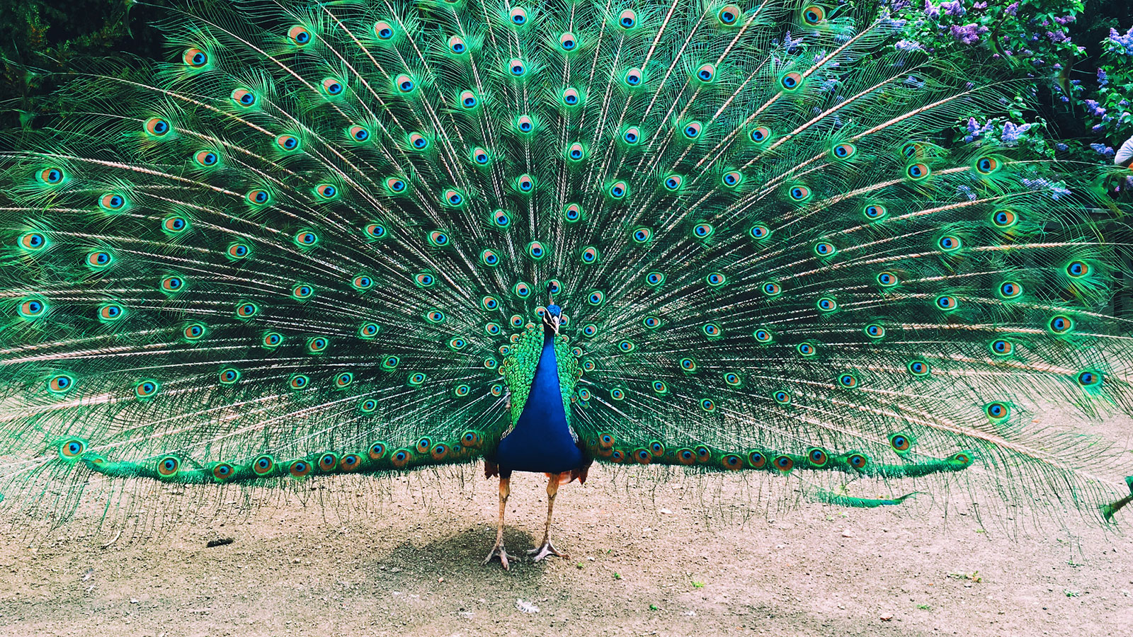 If A Peacock Loses His Tail Feathers Do They Grow Back Howstuffworks