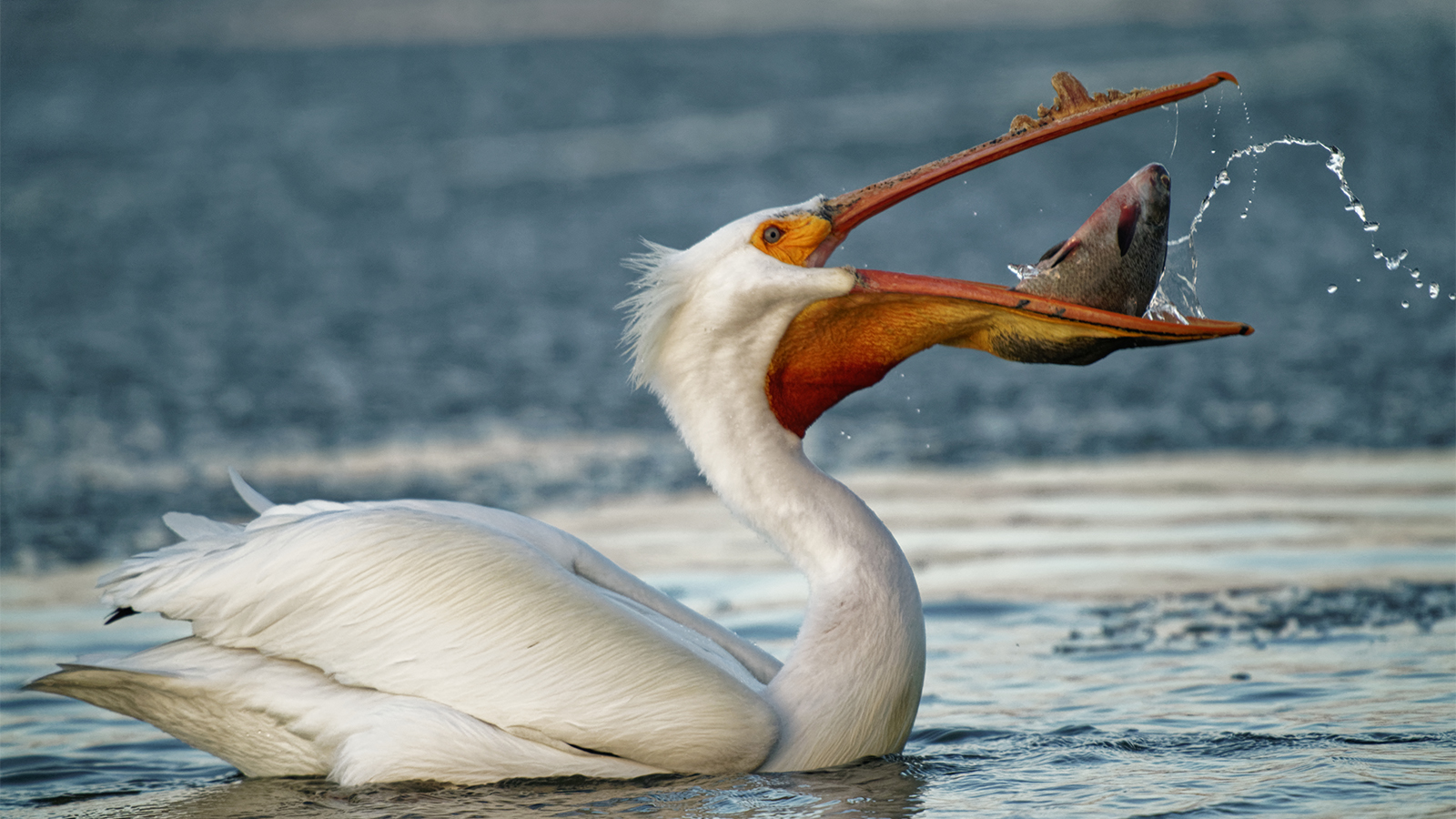 Does a Pelican's Bill Hold More Than Its Belly Can? | HowStuffWorks