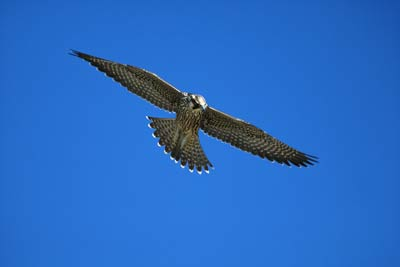 How Do Peregrine Falcons Fly So Fast Howstuffworks