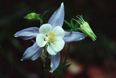 An image of a columbine as an example of perennial flowers.