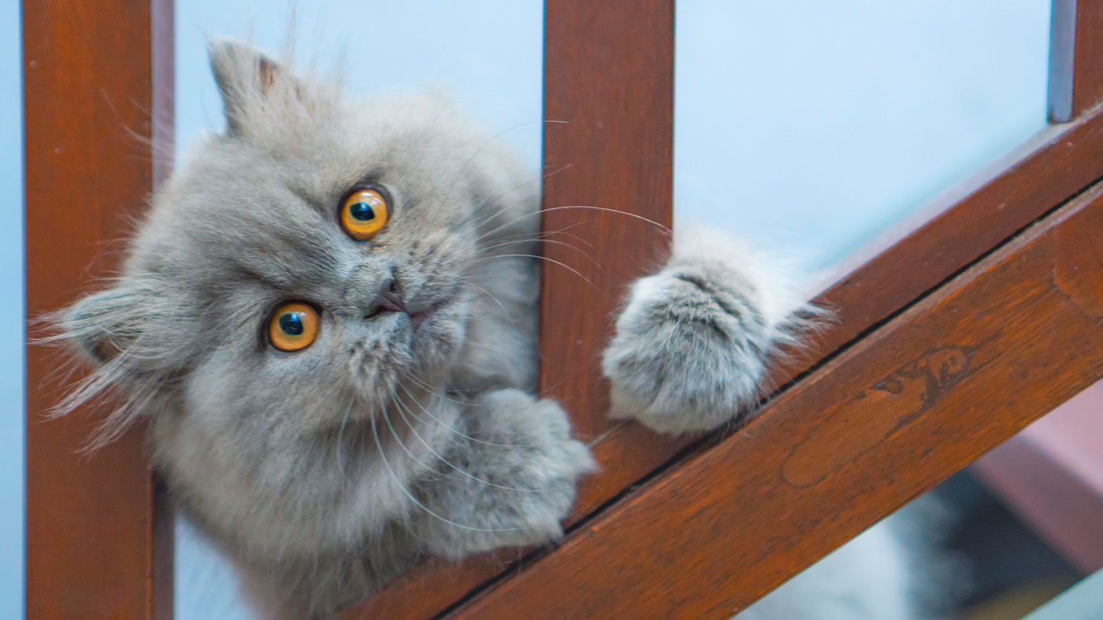 8 Facts About Persian Cats, Kings of the Lap-Nappers | HowStuffWorks