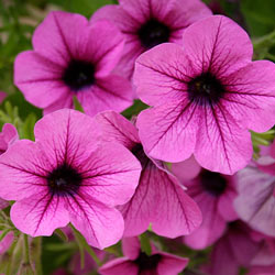 e71d756963 Petunias are durable flowers that will bloom from early spring to late fall  in full sunlight