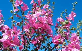 Pink To Fuchsia Annual Flowers Howstuffworks