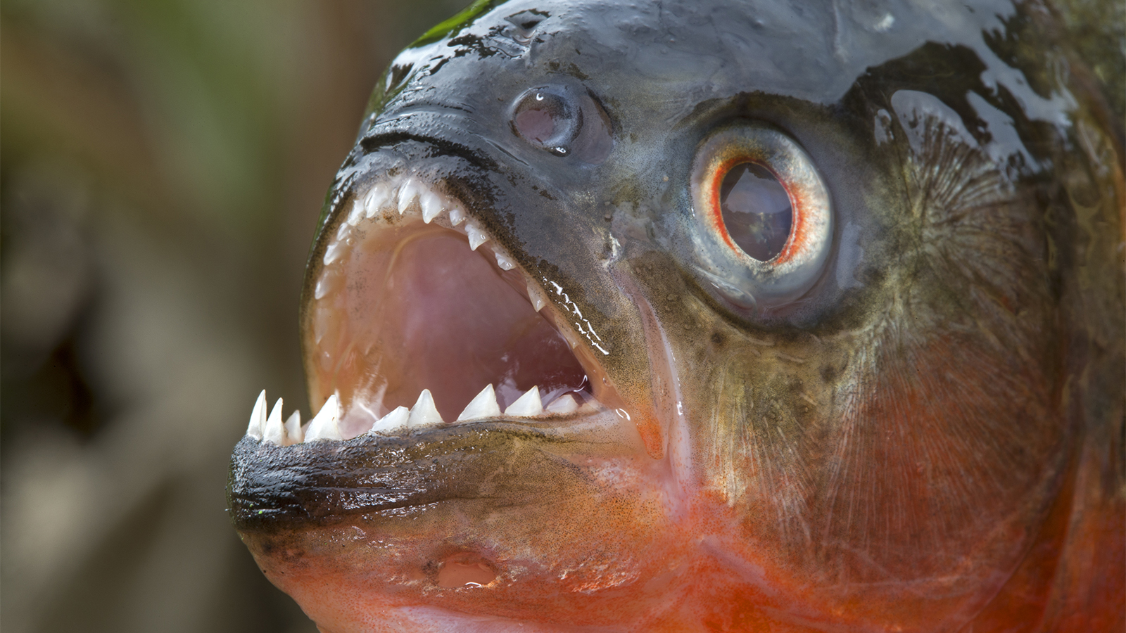 Piranhas: Toothy Nippers With a Bad Reputation | HowStuffWorks