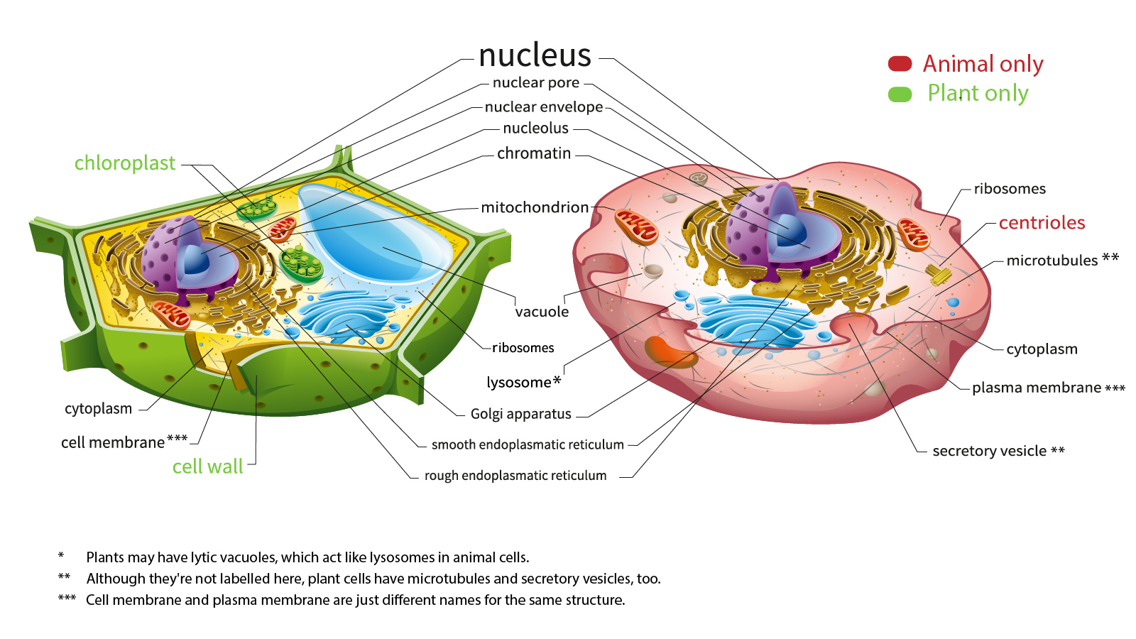 Here S How Plant And Animal Cells Are Different Howstuffworks