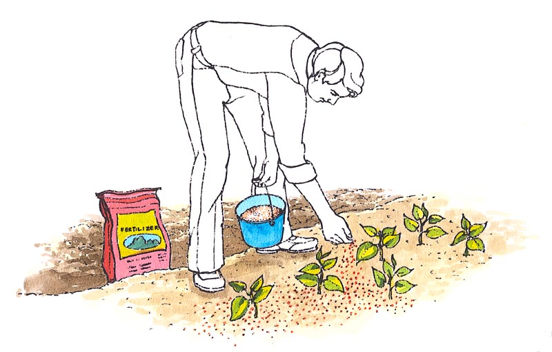 Granular and powdered commercial fertilizers release nutrients more quickly than organic fertilizers.