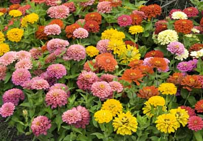 Zinnias benefit from proper growth care.