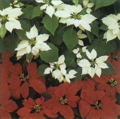 Poinsettia A Portrait Of A House Plant Howstuffworks
