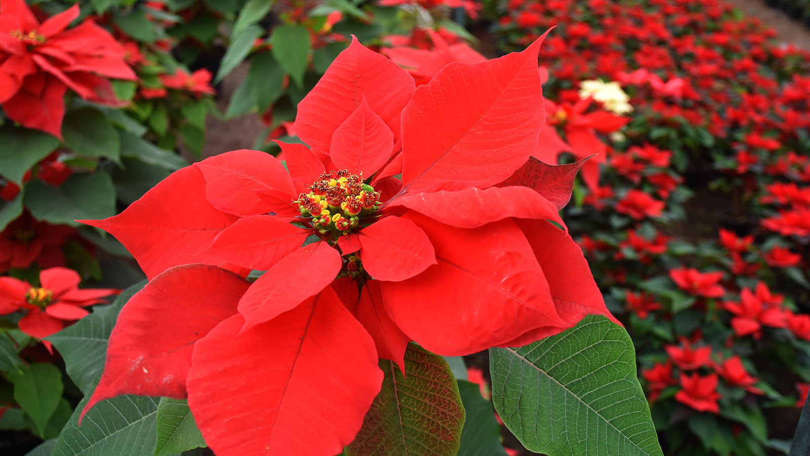 History Of The Poinsettia What Does The Poinsettia Have To Do With Christmas Howstuffworks