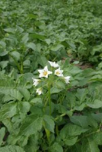 Potato plants are recognized by their star-shaped white or purple flowers.