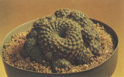 The rebutia, a ball- or barrel-shaped cactus, features small spines and spiral tubercles.