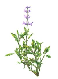 Sage: Herbal Remedies | HowStuffWorks
