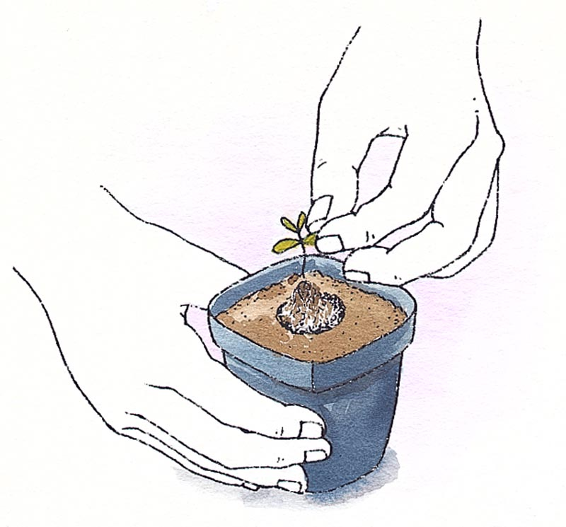 Transplant a new seedling when it grows its first set of true leaves.