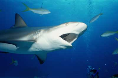 what is a sharks diet
