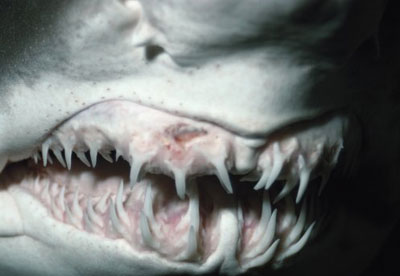 Shark Teeth Facts: What's so special about a shark's tooth? - Shark