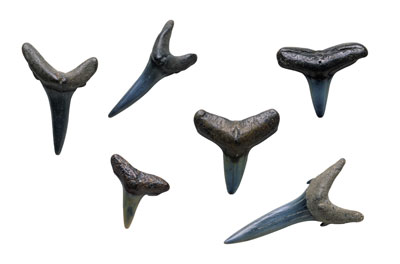 Shark Teeth Facts: What's so special about a shark's tooth