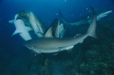 Sharks and Underwater Acoustics | HowStuffWorks