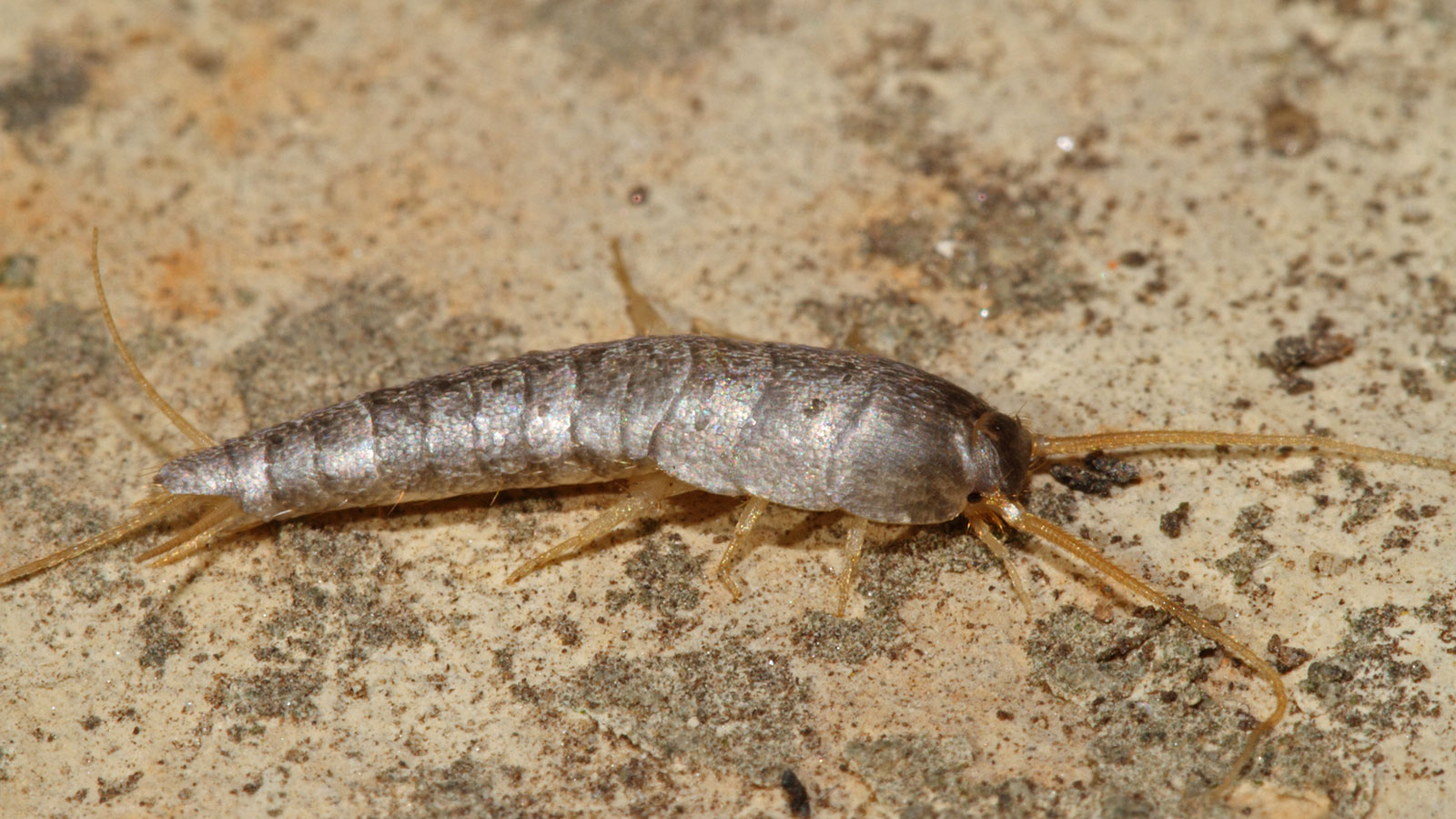 What Are Silverfish and How Do You Get Rid of Them?