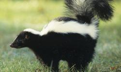 How To Trap A Skunk Without Getting Sprayed Howstuffworks