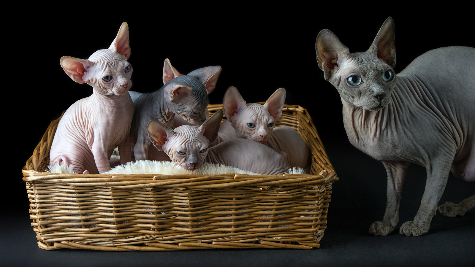 Sphynx Cats Are Surprisingly Sweet And Cuddly Howstuffworks