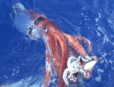 A giant squid caught by a deep-water fishing trawl in the waters around New Zealand and Australia