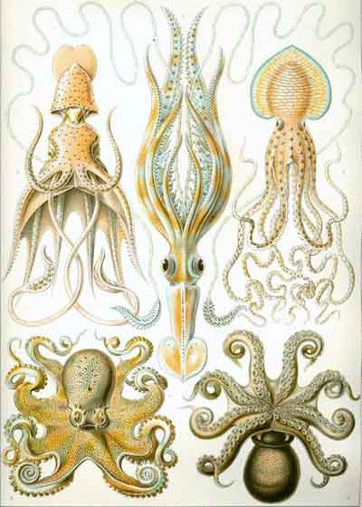 A variety of cephalopods in the subclass <i>coleoida</i>, which includes squid, octopuses, and cuttlefish, from Ernst Haeckel's