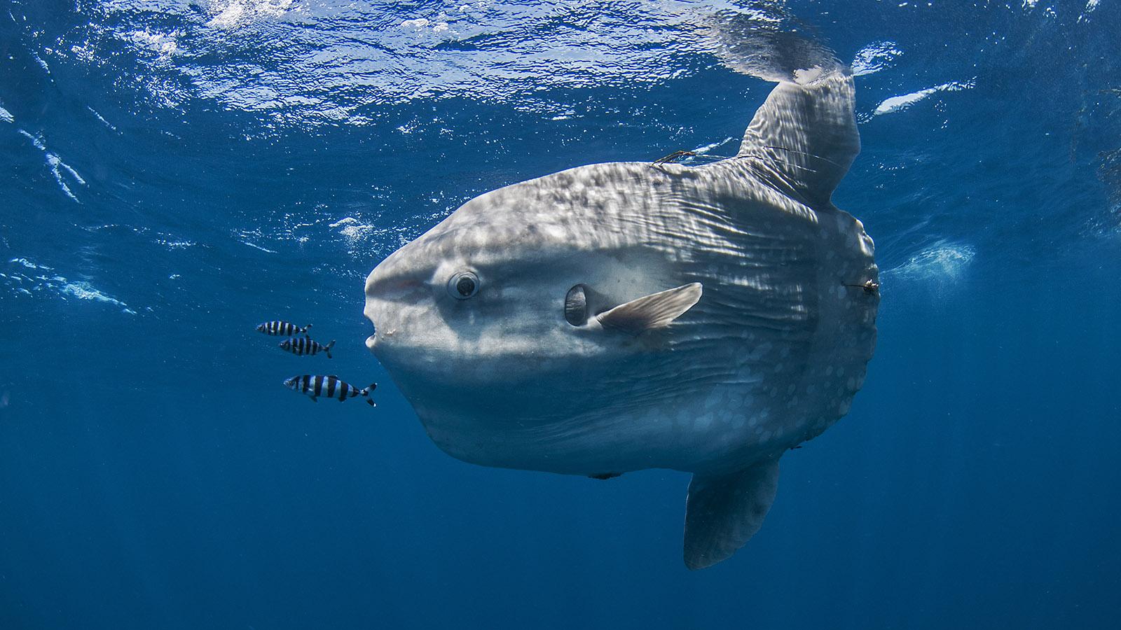 Dive Inside The Weird World Of The Ocean Sunfish Howstuffworks