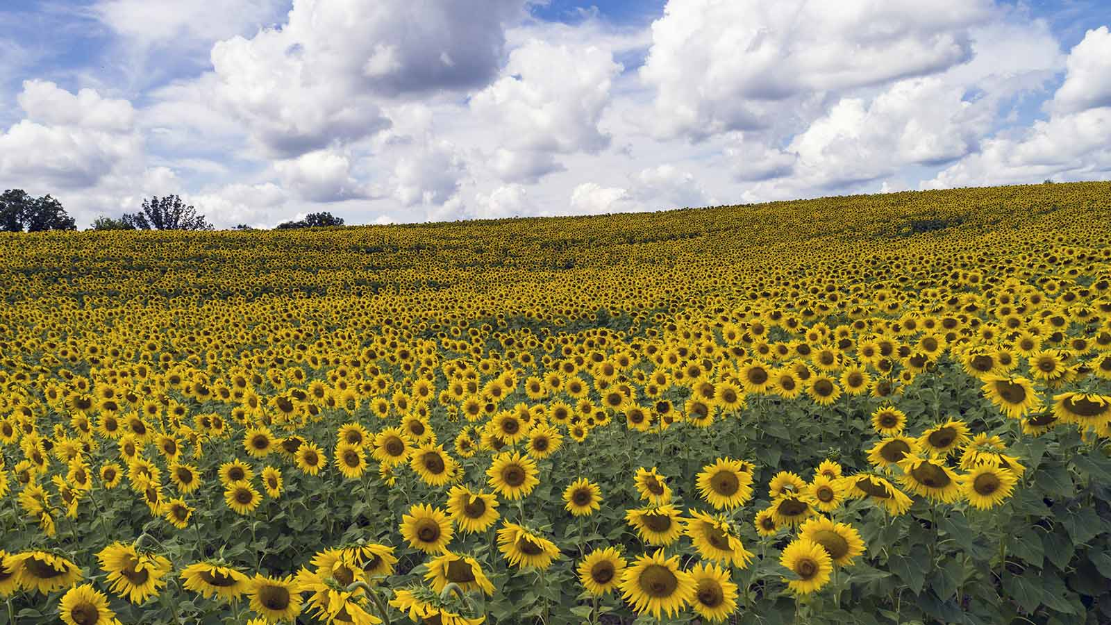 Sunflowers Really Do Follow the Sun and 9 Other Dazzling Facts