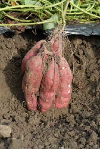 Sweet potatoes are fairly easy to grow but they will not tolerate frost.